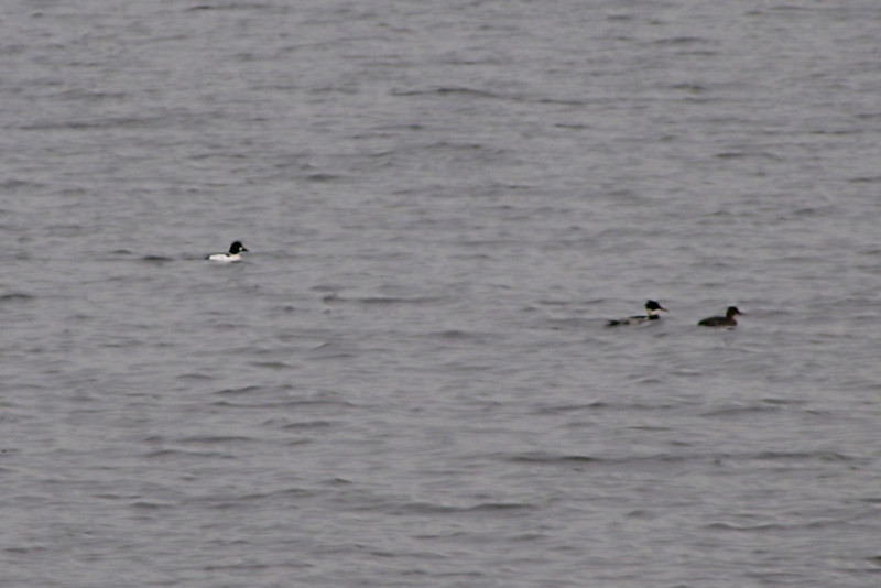 <center>Common Goldeneye and Red-Breasted Mergansers <br><br>East Bay Bike Path<br>East Providence, Rhode Island</center>