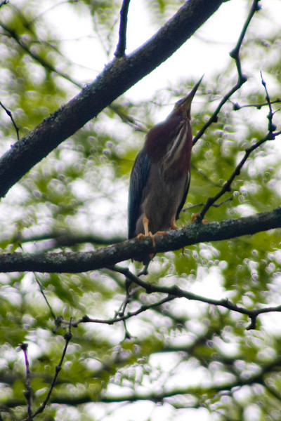 <center>Green Heron<br><br>Squantum Woods<br>East Providence, Rhode Island</center>