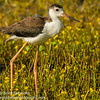 Black-necked Stilt (Immature)