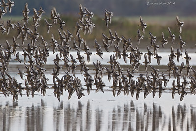 Flocks of migrating shorebirds.