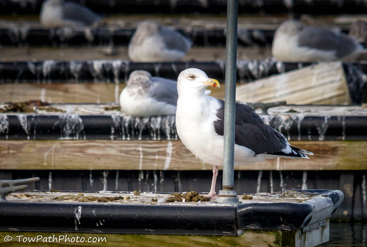 Black-backed Gull