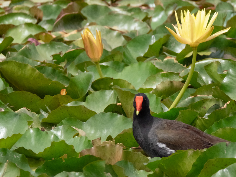 Common Moorhen (Gallinula chloropus)  in Bed of Yellow Water Lillies