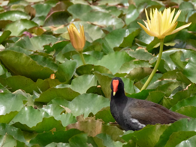 Common Moorhen in Bed of Yellow Water Lillies