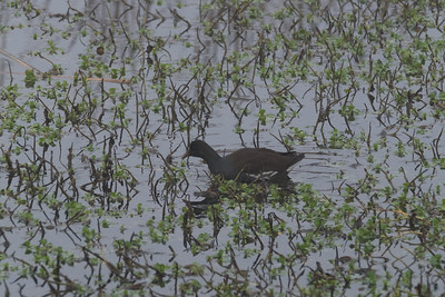 Common Moorhen (Waterhen, Swamp Chicken, Rail, closely related for Common Gullinalle)