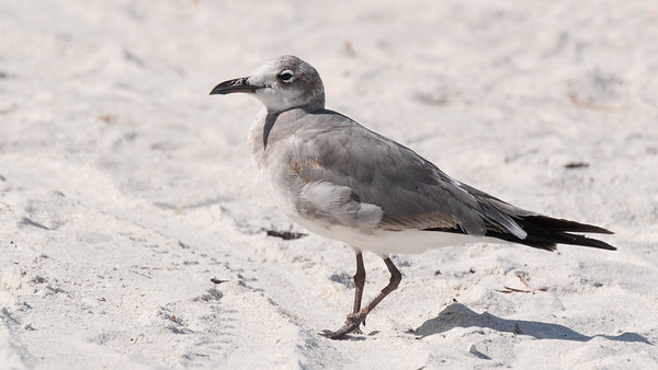Laughing Gull - Non-breeding Adult