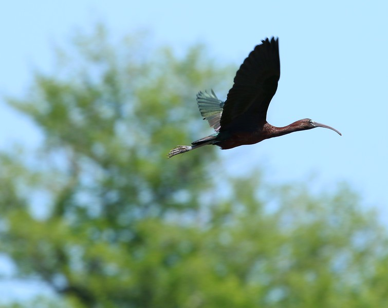 Glossy Ibis - Madison Surf Club