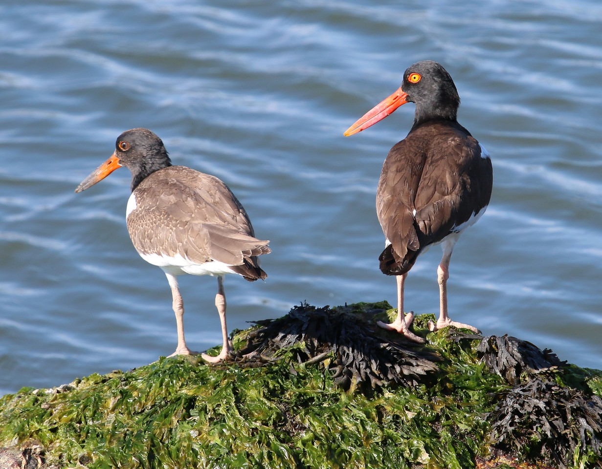 American Oystercatchers - Middle Beach Road Madison, CT