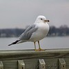 Ring-billed Gull<br /> Maryland