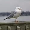 Ring-billed Gull<br /> Maryland