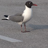 Laughing Gull<br /> North Carolina
