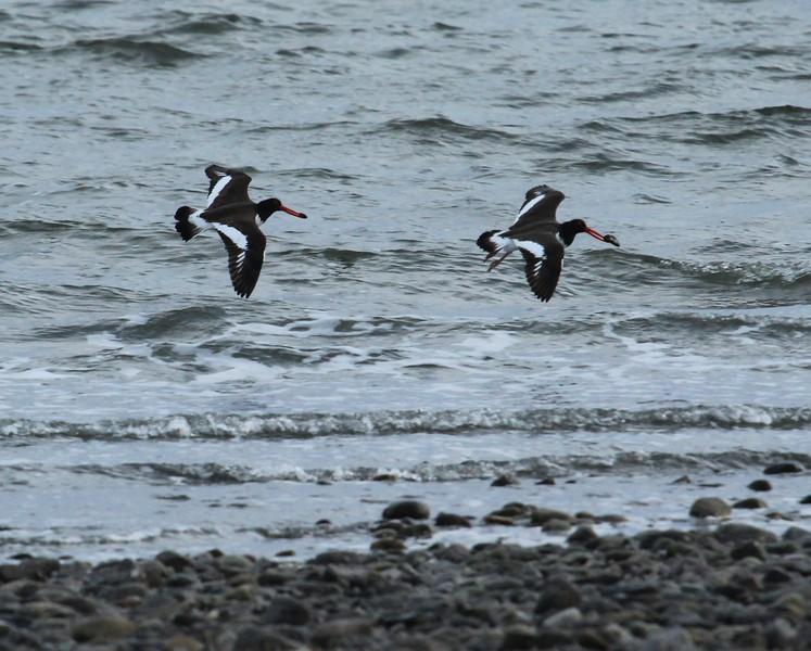 American Oystercatchers in flight