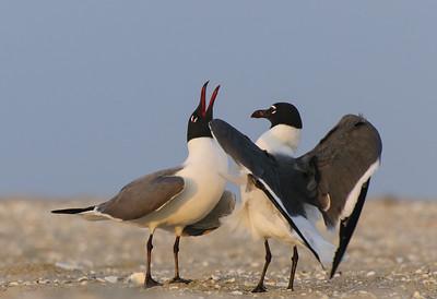Laughing Gulls Mating Behavior