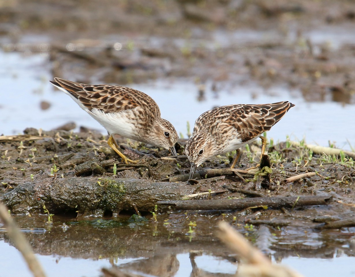 Pectoral Sandpiper - Surf Club Road, Madison