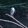 Black-crowned Night-Heron<br /> Creve Couer lake