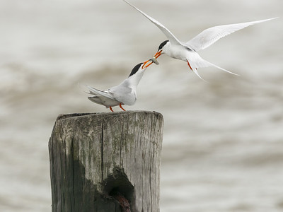 Forster's Terns - Mating Ritual