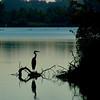 Great Blue Heron<br /> Busch Wildlife Area