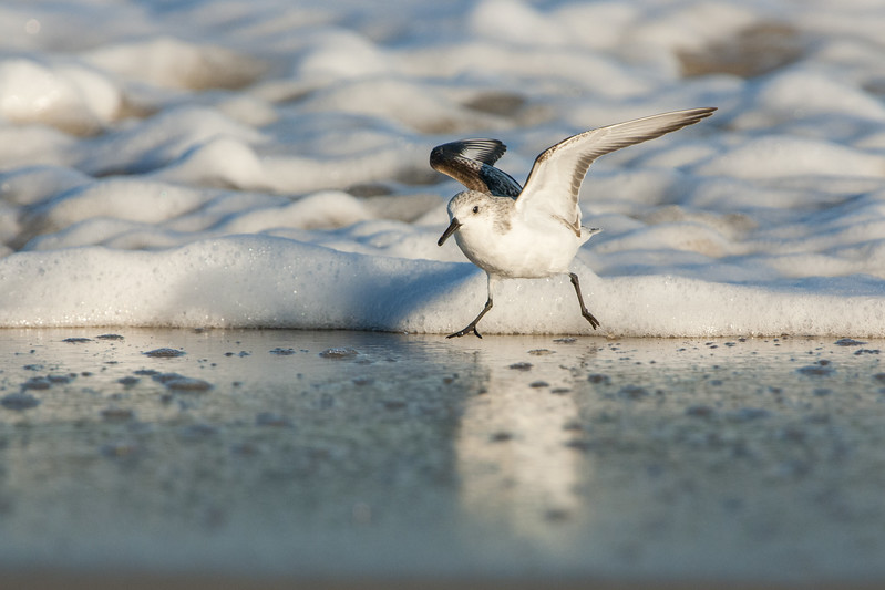 Sanderling on the Move
