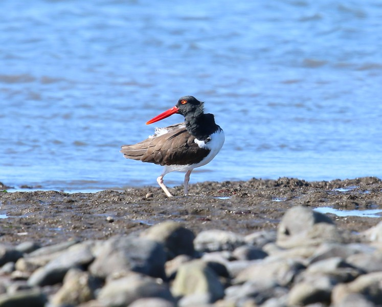American Oytercatcher - Grass Island