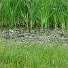 Black-necked Stilt  <br /> Sabine National Wildlife Refuge <br /> Louisiana  <br /> 7/27/2001 <br /> Sony CD1000