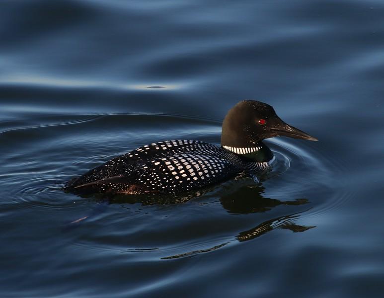 Common Loon - Black Falcon Pier Boston, MA