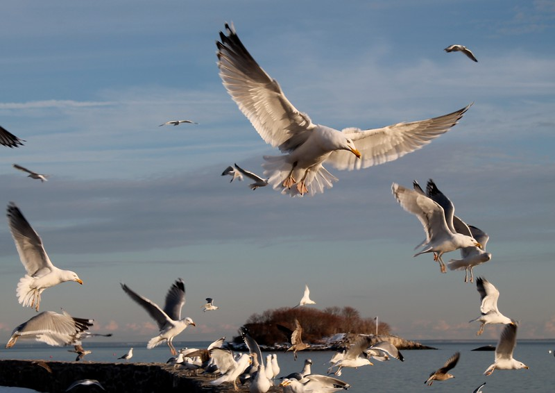 Herring Gulls West Wharf Beach - Madison, CT. 2014