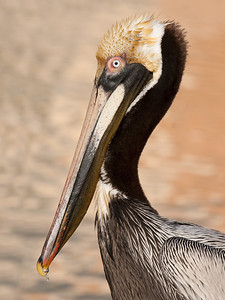 Brown Pelican in Breeding Plumage