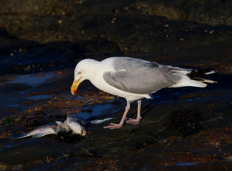 Gull with Fish - West Wharf Madison, CT