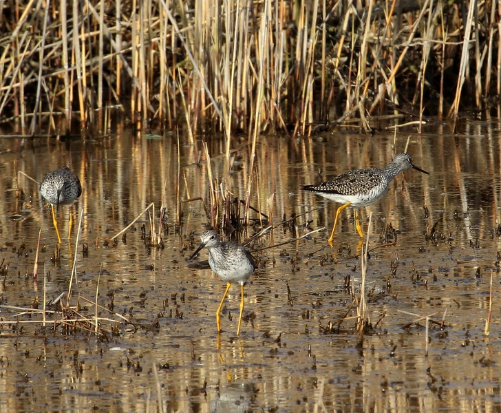 Lesser Yellowlegs at Meigs Point
