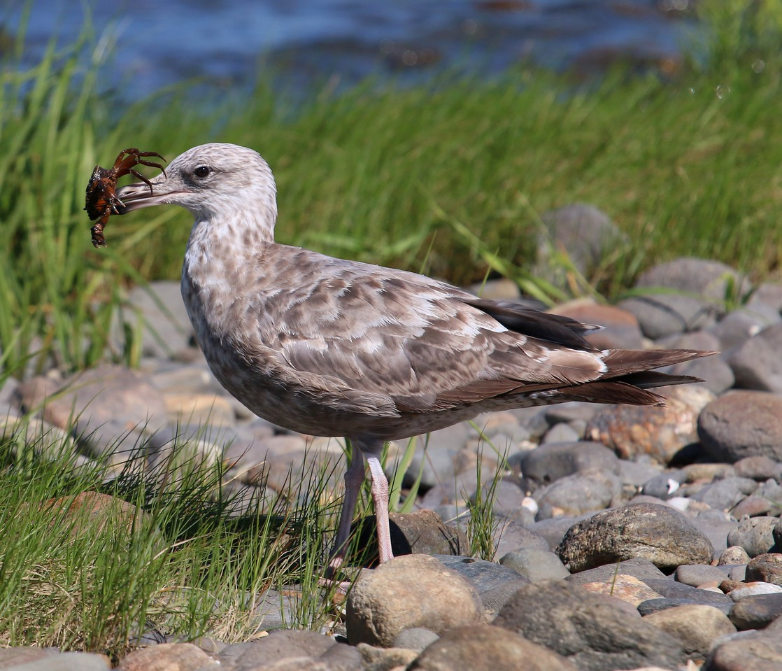 Gull with Crab - Grass Island Guilford, CT