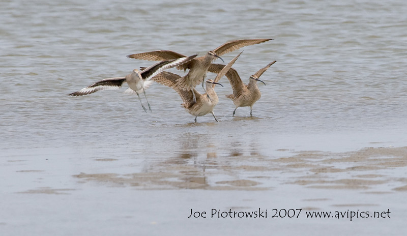 Whimbrels and Willet