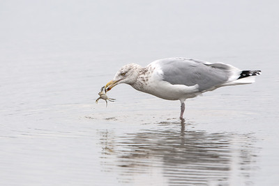 Herring Gull with Blue Crab