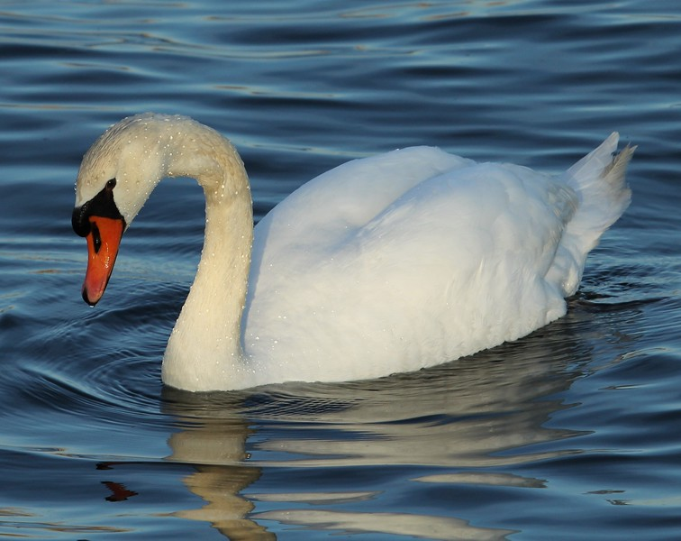Swan at South Cove Old Saybrook