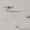 Sanderling, immature<br /> North Carolina