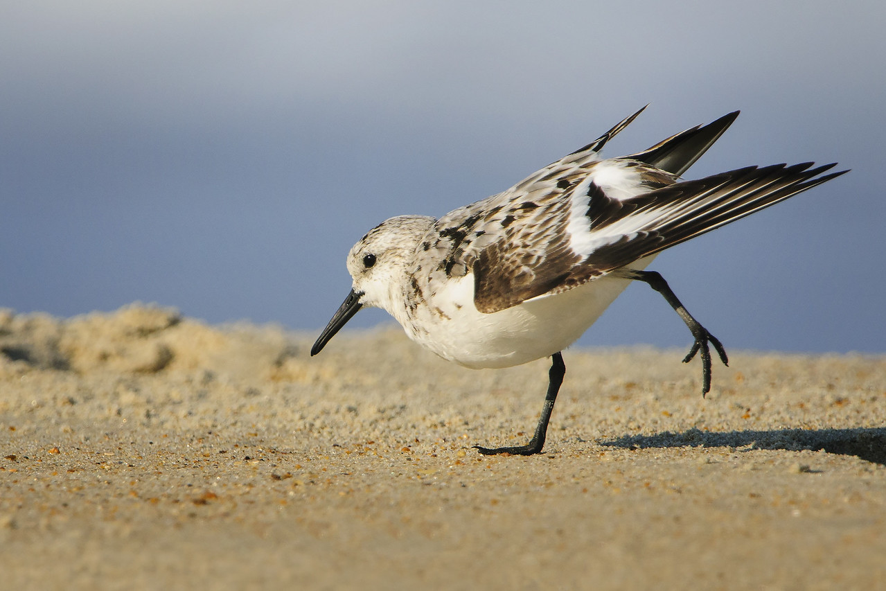 Sanderling Stretch