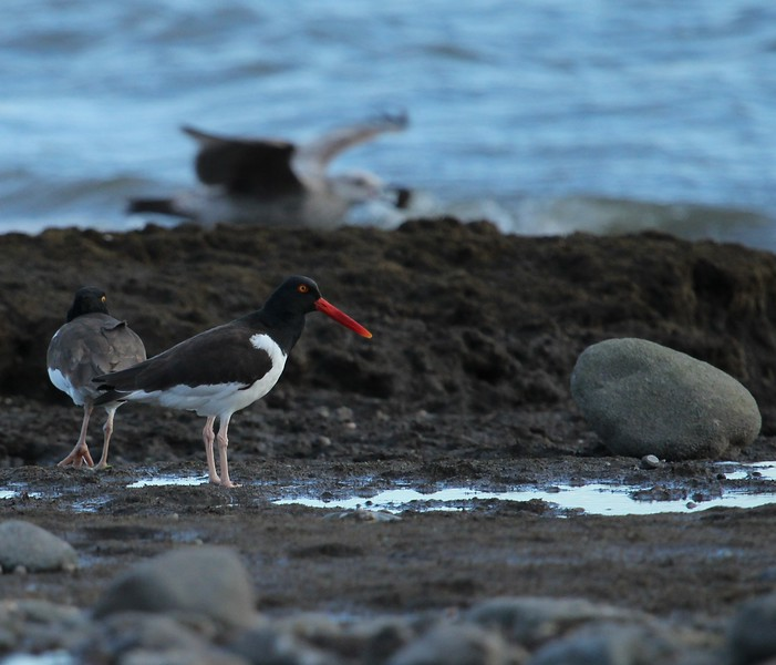 American Oystercatchers at Grass Island Guilford, CT