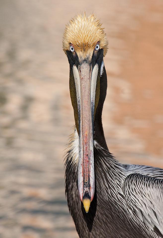 Brown Pelican in Breeding Plumage