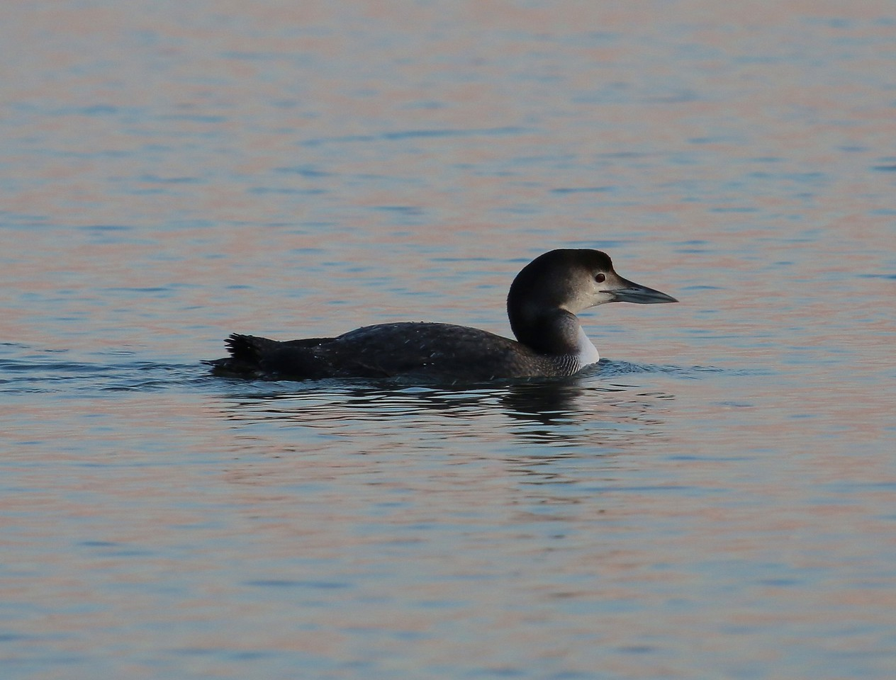 Red-Throated Loon at West Wharf
