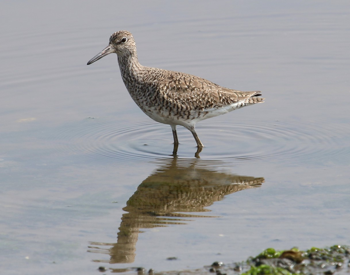 Willet - East River  Guilford, CT