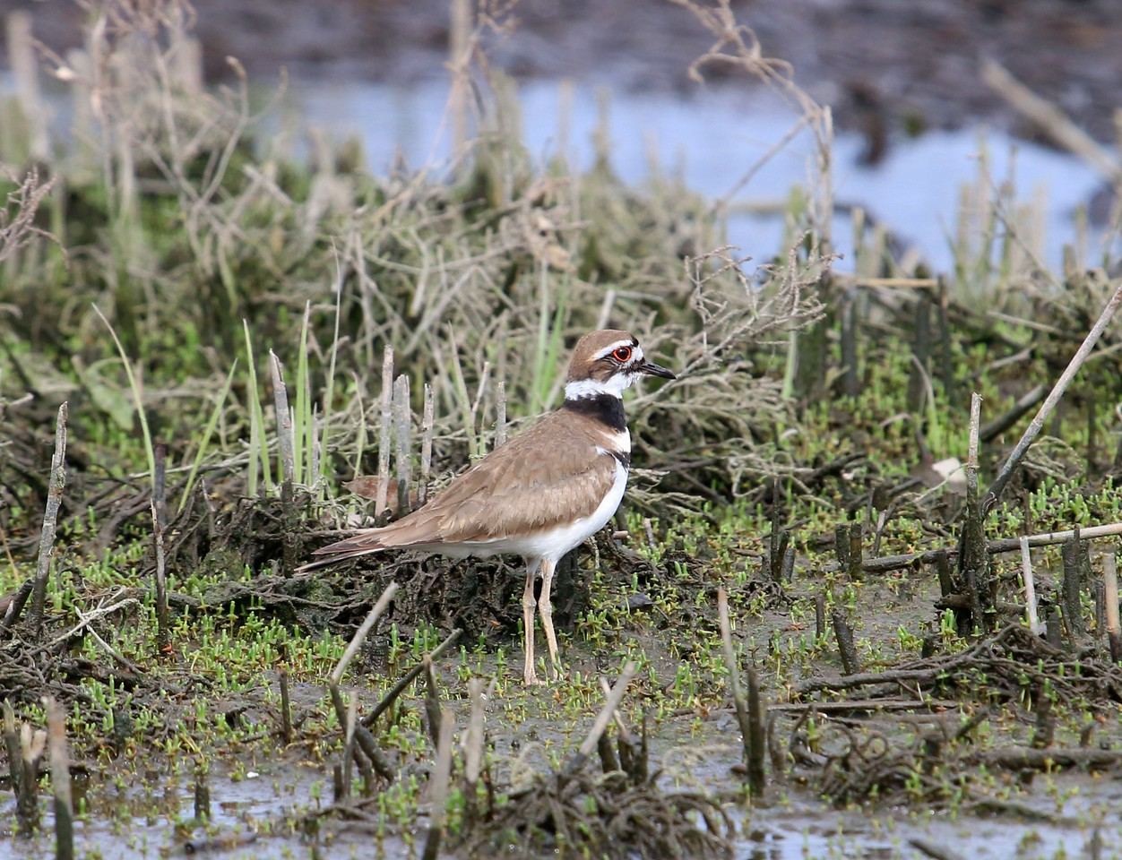 Killdeer - Surf Club Road, Madison