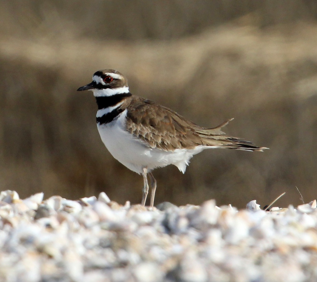 Killdeer at Meigs Point