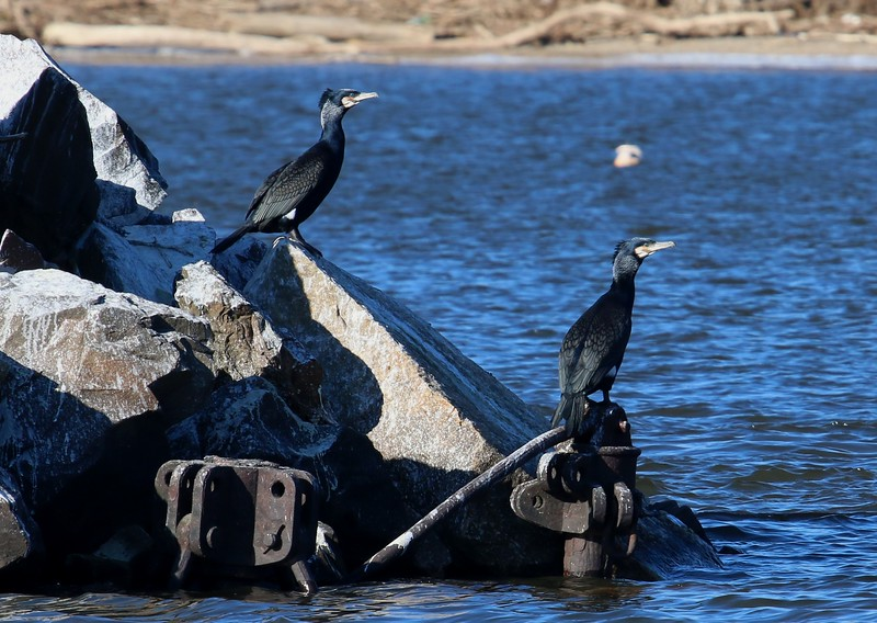 Cormorants on the rocks of red Channel Marker 32