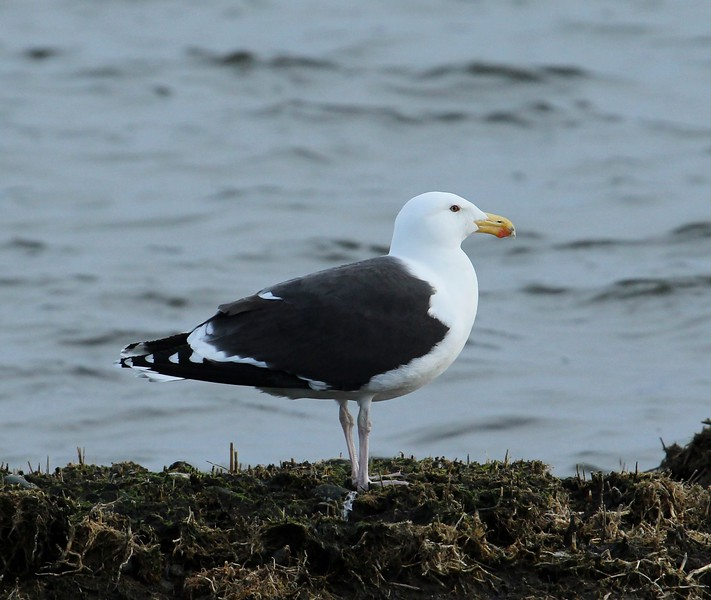 Black  Backed Gull
