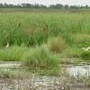 Rosette Spoonbill <br /> Sabine National Wildlife Refuge <br /> Louisiana <br /> 7/27/2001 <br /> Sony CD1000