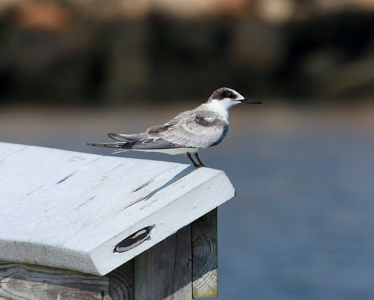 Tern on fishing pier; New London, CT