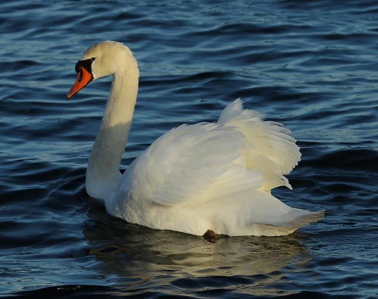 Swan at South Cove Old Saybrook