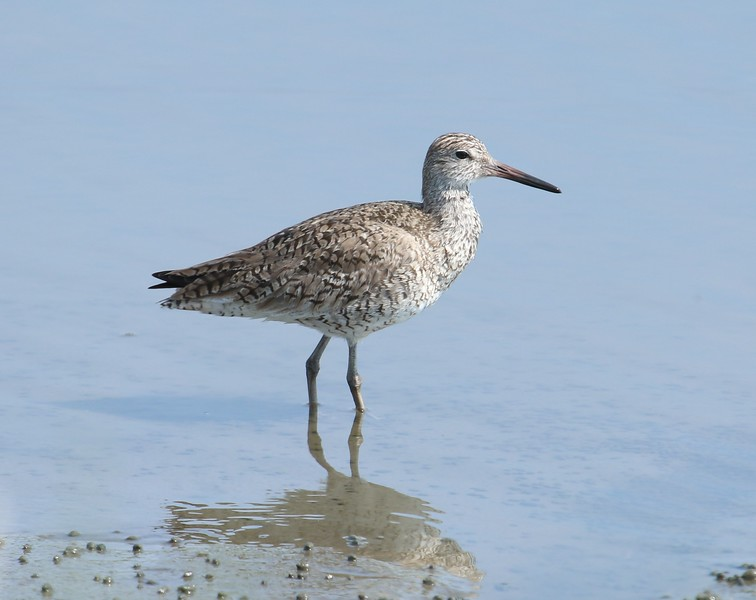 Willet - East River