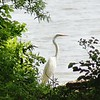 Great Egret <br /> Creve Couer lake <br /> 2004-06-06 <br /> <br /> No. 25 on my Lifetime List of Birds <br /> Photographed in Missouri