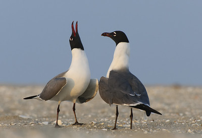 Laughing Gull Mating Behavior
