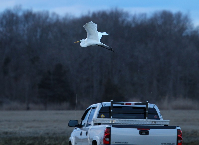 Egret over my truck at East River
