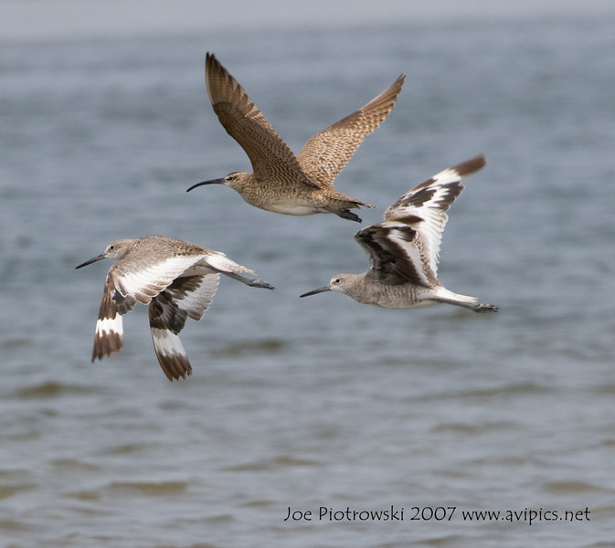 Whimbrel and Willets